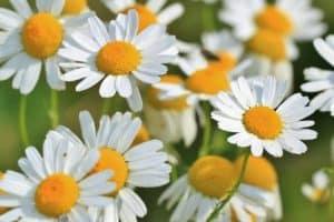 צמחי ופרחי מרפא